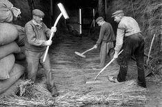 Tâche éprouvante, le battage se pratique encore à la main pour certaines cultures. Nord de la France, 1911. © Jacques Boyer / Roger-Viollet