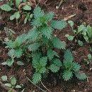 6 remedios caseros ecológicos a base de plantas para plagas y enfermedades en la huerta ecoagricultor.com