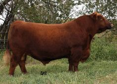 Red 6 Mile Full Throttle171T - A.I. sire for my red cows this year.  FT babies next year.  Handsome devil!
