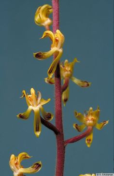 Pilophyllum villosum  - Cultivated at the Hortus Botanicus, Leiden, The Netherlands, from Borneo, Sarawak