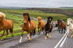 Cavalos Lindos da Islândia