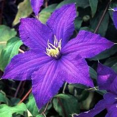 "#Clematis Rhapsody is an outstanding cultivar with broad, pointed, dark indigo-blue #flowers. As the 5"" flowers mature the color becomes even more intense. Very free flowering and one of our favorites! Compact grower; great for containers, balconies and small #gardens."