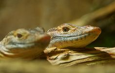 """""""Look.""""  A pair of Komodo Dragons resting their chins on a log."""