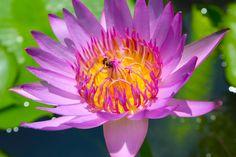Lotus blossom, Thailand