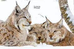 Lynx trio by Cecilie Sønsteby on 500px