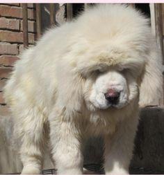 white Tibetan mastiff