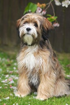 10. Tibetan Terrier  Dedicated and gentle with strong stamina.