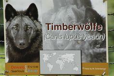 Timberwölfe leben auf dem nordamerikanischen Kontinent.