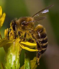 FOTOGRAFIAS DE ABEJAS EN FLORES - PHOTOGRAPHS OF BEES IN FLOWERS.