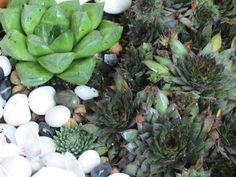 Cactus // Suculents // Cactaceae - Haworthia and Sempervivium sp