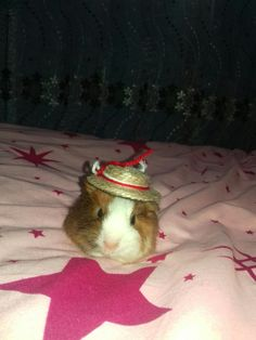 Guineea Pig Sombrero 1