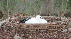 White stork #Weißstorch in #Hirschstetten #wien #white_stork #birdwatching #birding Bird Watching