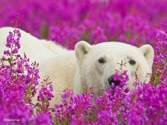 This would look great framed in the baby's room. Proshots - Polar Bear in Fireweed, Wapusk National Park, Manitoba - Professional Photos Photo Ours, Animals Beautiful, Cute Animals, Beautiful Images, Beautiful Flowers, Arctic Animals, Rare Photos, Animal Photography, Champs