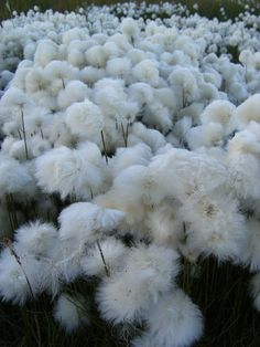 arctic cotton flower / tundra cotton field [my favorite!]