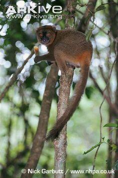 Greater bamboo lemur feeding on bamboo.  Critically endangered.