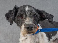 Adopt Milo, a lovely 10 year-old Havanese in Colo. Springs. Milo is available at the National Mill Dog Rescue.