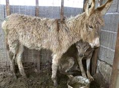 This Donkey Was Supposed to Be a Live Meal for a Wolf, But Became His Best Friend Instead   http://www.onegreenplanet.org/animalsandnature/donkey-and-wold-best-friends/ … pic.twitter.com/riXmLvUKnQ