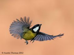 Upward thrust... by Austin Thomas; a great tit in flight.