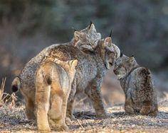 Lynx family #BigCatFamily
