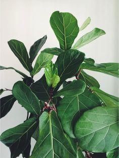 paiko Hawaii - fiddle leaf fig tree
