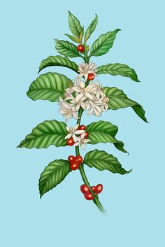 Image result for coffee plant branch