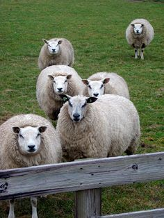 TEXELPICS (pictures from the island Texel): Texel sheep