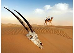Arabian Oryx Skull Image, Abu Dhabi - National Geographic Photo of the Day Types Of Photography, Amazing Photography, Arabian Oryx, Skin And Bones, Skull Painting, Out Of Africa, Belleza Natural, Travel Images, Photos Of The Week