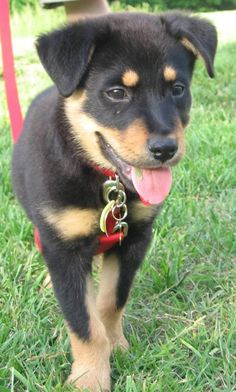Dachshund Rottweiler mix the best mix in the world