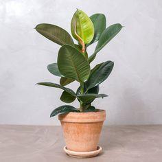 Her er de 10 mest trendy planter lige nu House Plants Decor, Plant Decor, Green Plants, Green Flowers, Garden Pots, Vegetable Garden, Herb Garden, Rubber Plant, Cactus