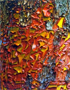 Peeling bark of a Pacific Madrone tree by Steve Terrill