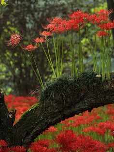 spider lilies grow in the old tree.