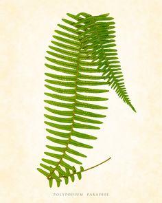 Antique Fern Botanical Art Print Plate 1 1857 by BelleMaisonArt