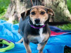 Doxle dog for Adoption in Pearland, TX. ADN-596094 on PuppyFinder.com Gender: Female. Age: Adult