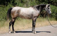 Image result for arabian endurance horse
