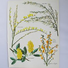 Botanical Book Illustration Broom False Heather by patternmania, $8.00
