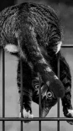 Crazy Cat Lady, Crazy Cats, Big Cats, Cool Cats, Cats And Kittens, Animals And Pets, Funny Animals, Cute Animals, Werewolf Cat