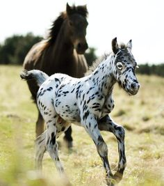 Too bad the Appaloosa won't stay on