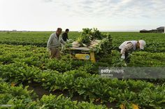 Farmers harvest Daikon radishes at a field in Tatsuno, Hyogo Prefecture, Japan, on Wednesday, Nov. 2, 2016. Unusually poor weather in western Japan and a rise in food prices, particularly for vegetables, in September suggest risk of a downside surprise in Japan's household spending. Photographer: Buddhika Weerasinghe/Bloomberg via Getty Images Nov 2, September, Japanese Farmer, Hyogo, Outdoor Furniture Sets, Outdoor Decor, Farmers, Wednesday, Harvest