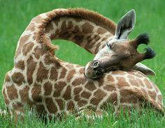 Sleeping baby giraffe