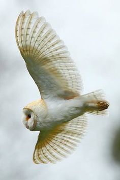 Who knows where the wind may take you...  Barn Owl by Adrian Groves