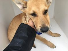Beautiful soul deserving a chance to love and be loved. 03/11/17-HOUSTON-EXTREMELY URGENT - This DOG - ID#A479281 I am a female, tan and white Labrador Retriever. The shelter staff think I am about 6 months old. I have been at the shelter since Mar 11, 2017. This information was refreshed 27 minutes ago and may not represent all of the animals at the Harris County Public Health and Environmental Services.