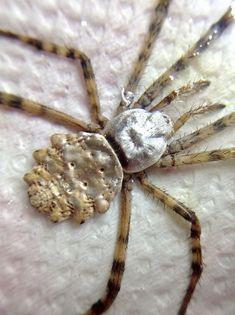 Argiope Argentata Spider Taxidermy - dried unmounted - entomology specimen collection - bugs artwork supply - Silver Garden Spider