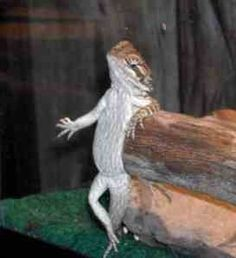 Cute little bearded dragon  omg i am so dying over here!!!
