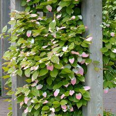 Actinidia kolomikta a Pergole Garden S, Dream Garden, Landscape Design, Garden Design, Livingston, Small Gardens, Beautiful Gardens, Evergreen, Garden Landscaping