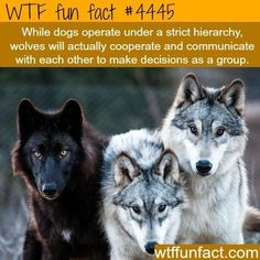 15 True WTF Facts About Wolves - I Can Has Cheezburger? Best Picture For animal facts illustration F Wow Facts, Wtf Fun Facts, Funny Facts, Random Facts, Crazy Facts, True Facts, Animals And Pets, Funny Animals, Cute Animals