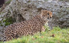 A Cheetah Covering Some of Her Territory.