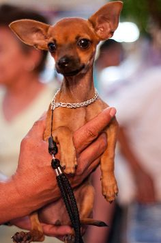 Cute Chihuahua puppy at the Oaxacan market. <3