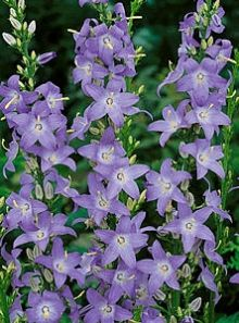 81 best graceful gardens perennial flowers images on pinterest campanula chimney bellflower the beautiful blue bells of these campanulas cluster around the 5 foot tall mightylinksfo