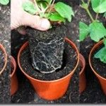 So…… we have already covered Sowing Seeds and How to Take Cuttings. Now in our gardening series on back to basics, we will look at what you need to do with your young plants to keep them happy and growing.. The basic terms used in transplanting are putting off', when...