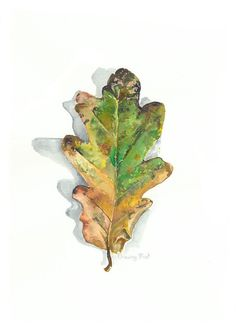 Unframed, A4 signed botanical print of a single oak leaf in Autumn.  This painting is a reflection of the turning of oak leaves in autumn as they slowly brown and fall off the tree. This is part of a series in the making, designed to reflect this magnificent tree through seasonal change. I only make a small number of prints of each of my paintings to ensure they retain their uniqueness. My paintings of nature are my effort to capture plants in change and flux, plants that are meaningful to…